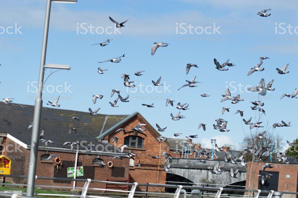 Pigeon Attack stock photo