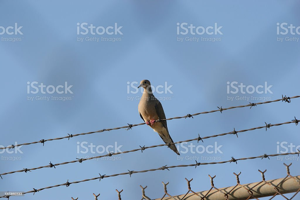 Pigeon Behind  the fence royalty-free stock photo