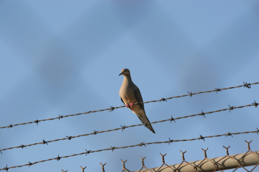 Pigeon Behind The Fence Stock Photo - Download Image Now
