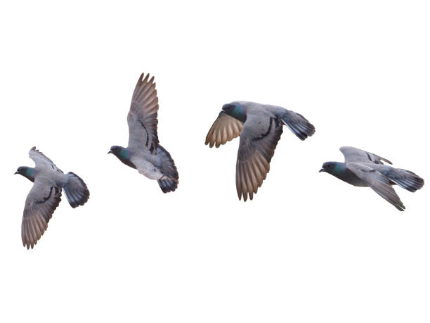 Pigeon Bird fly flying isolated on white background Pigeon Bird fly flying isolated on white background pigeon stock pictures, royalty-free photos & images
