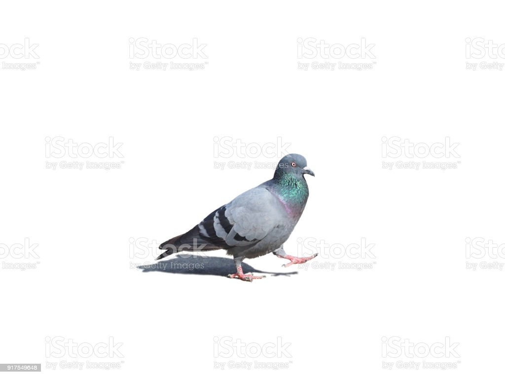 Pigeon Bird isolated on white background stock photo
