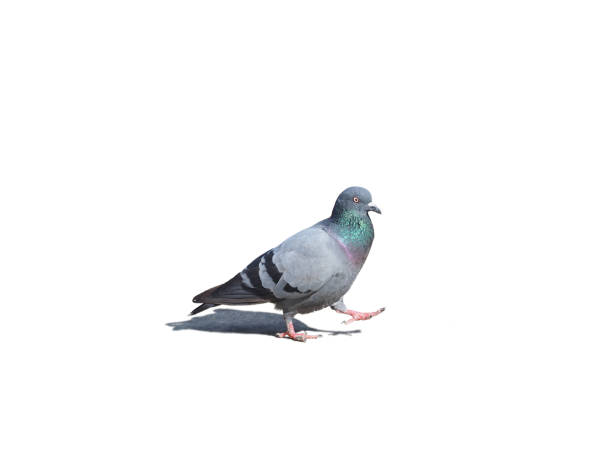 Pigeon Bird isolated on white background Pigeon Bird fly flying isolated on white background pigeon stock pictures, royalty-free photos & images