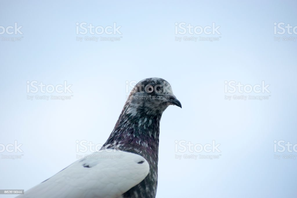 pigeon bird portrait close up face view looking on eyes head beak and neck details view wildlife bird sky in background stock photo