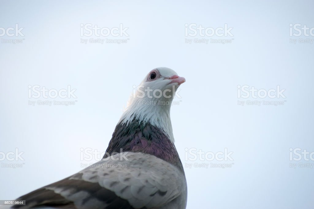 pigeon bird portrait close up face view looking on eyes head beak and neck details view wildlife bird sky in background brown and white colored stock photo