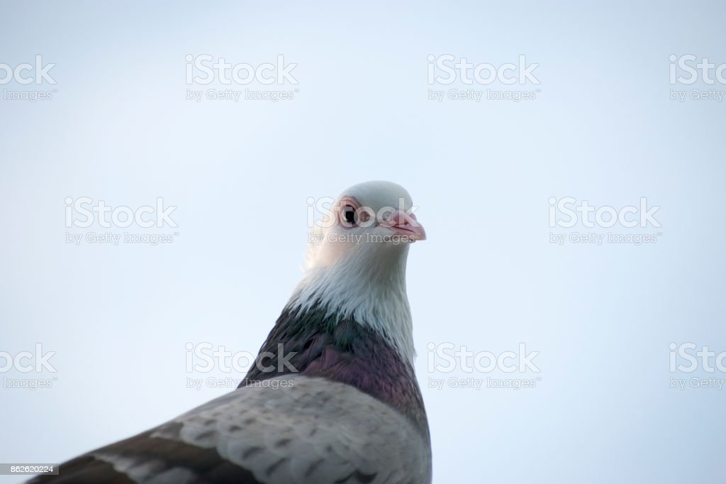pigeon bird portrait close up face view looking on eyes head beak and neck details view wildlife bird sky in background brown and white colored looking beautiful stock photo