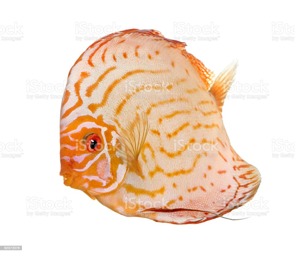 Pigeon Blood Discus (fish) - Symphysodon aequifasciatus royalty-free stock photo