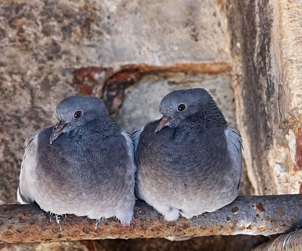 Pigeon couple stock photo