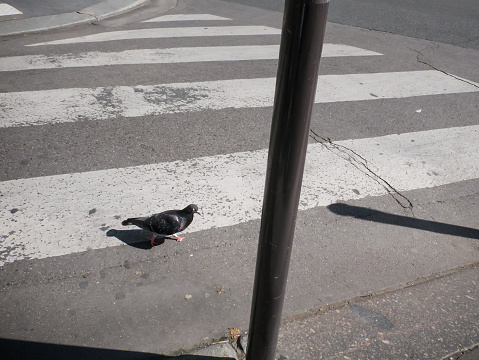 A pigeon crosses the street, pedestrian crossing