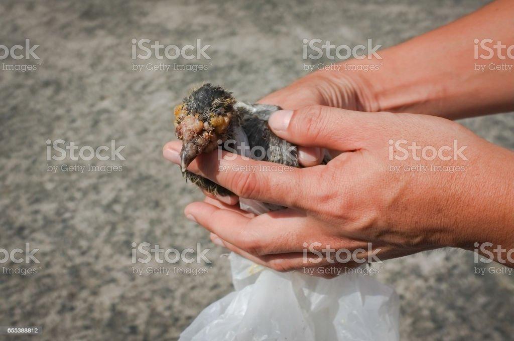 Pigeon disease stock photo