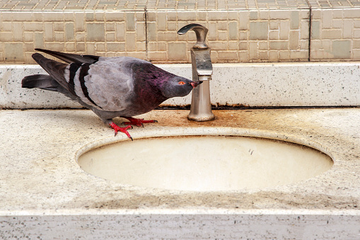 Pigeon drinking water from a water tap