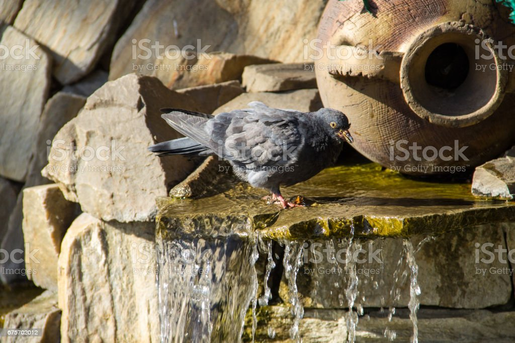 Pigeon drinking water from the pool of fountain in the park 免版稅 stock photo