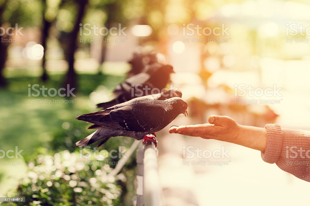 Pigeon eating from a human hand stock photo