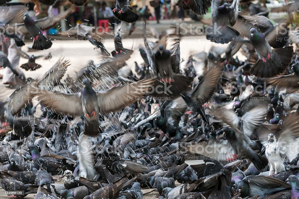 Pigeon feeding frenzy royalty-free stock photo
