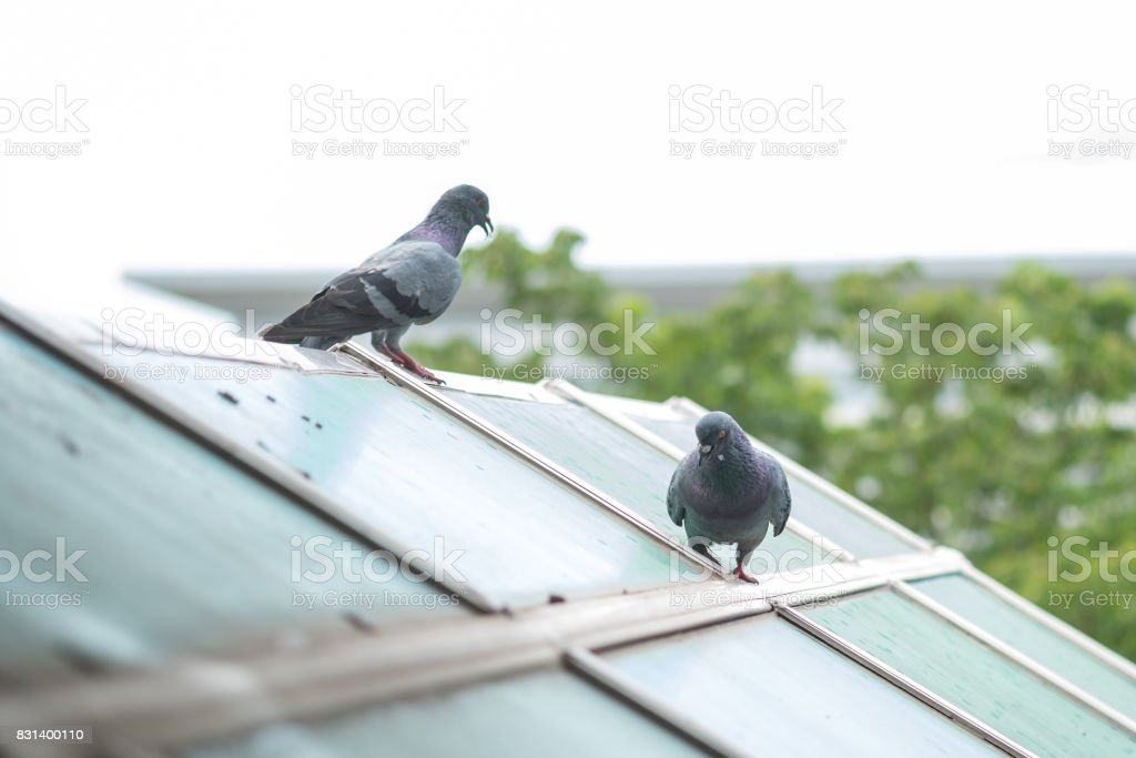 Pigeon fight stock photo