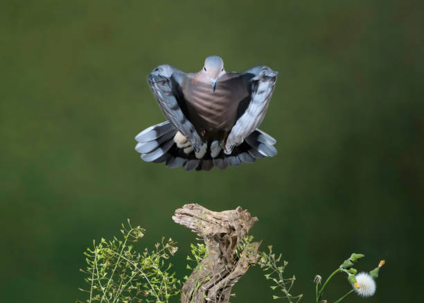 pigeon flight stock photo