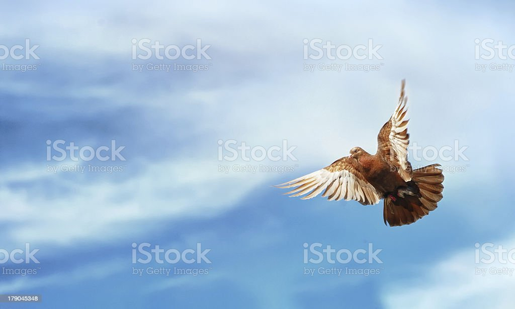 Pigeon Flying Blue Sky Freedom background royalty-free stock photo