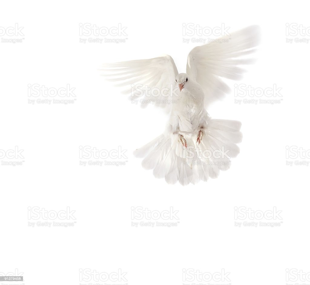 A pigeon flying over a white background royalty-free stock photo