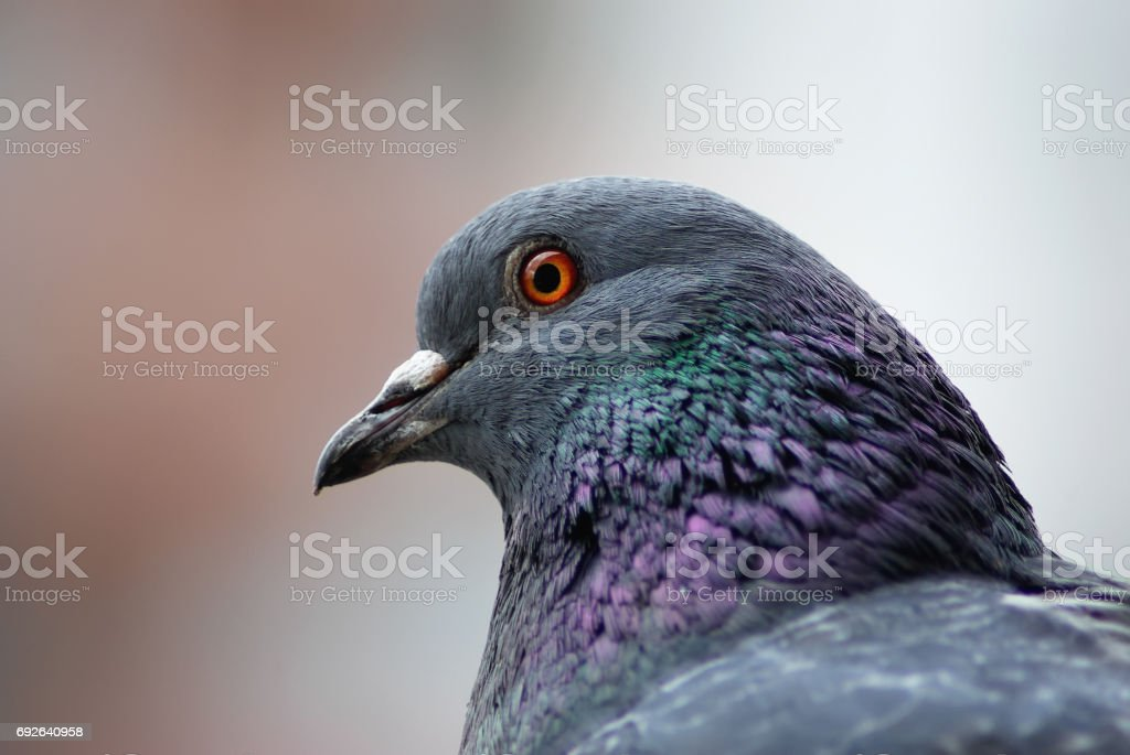 Pigeon head close up stock photo