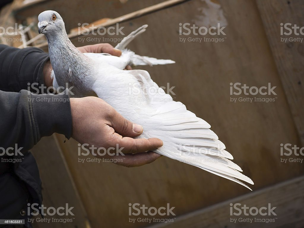 Pigeon in Hand royalty-free stock photo