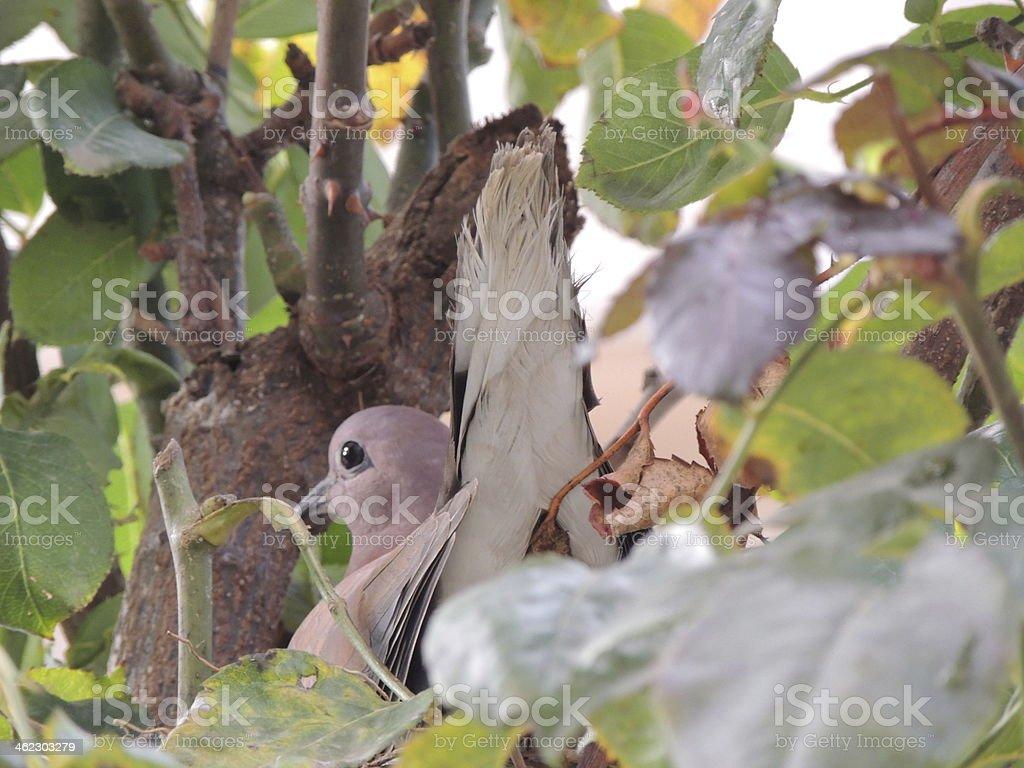 Pigeon de Nest photo libre de droits