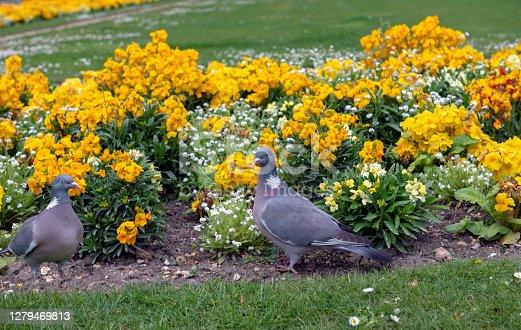istock Pigeon in Paris 1279469813