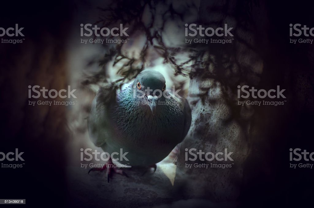 Pigeon in pigeon hole stock photo