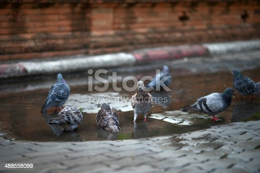 istock Pigeon In Pond 488558099