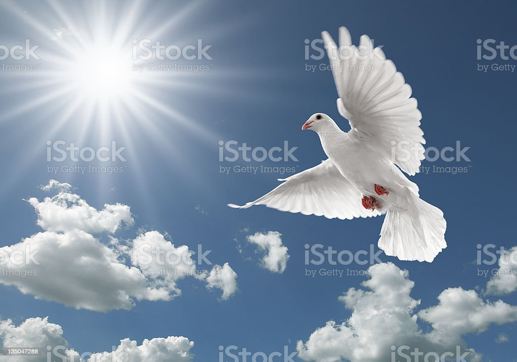 pigeon in the sky white dove flying on clear blue sky Animal Stock Photo