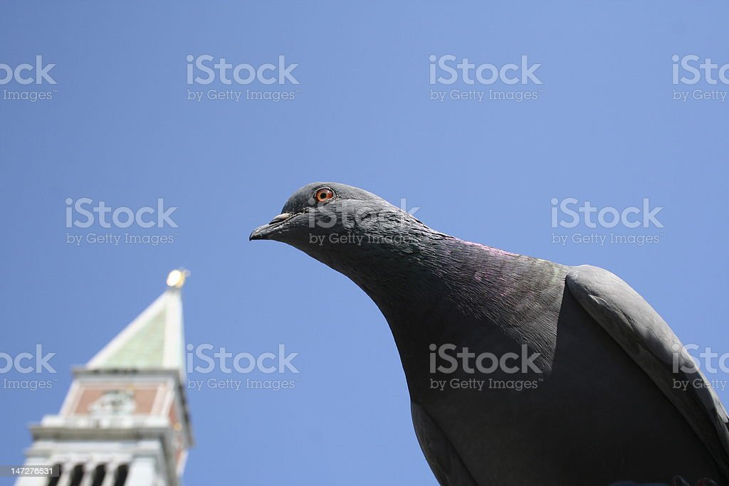 Pigeon in Venice royalty-free stock photo