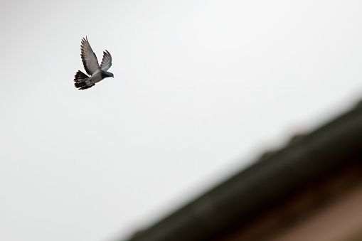 pigeon is flying on the roof.