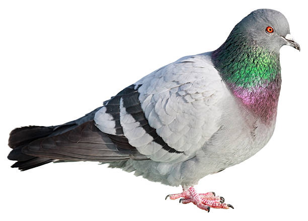 Pigeon isolated on white background Pigeon isolated on white pigeon stock pictures, royalty-free photos & images