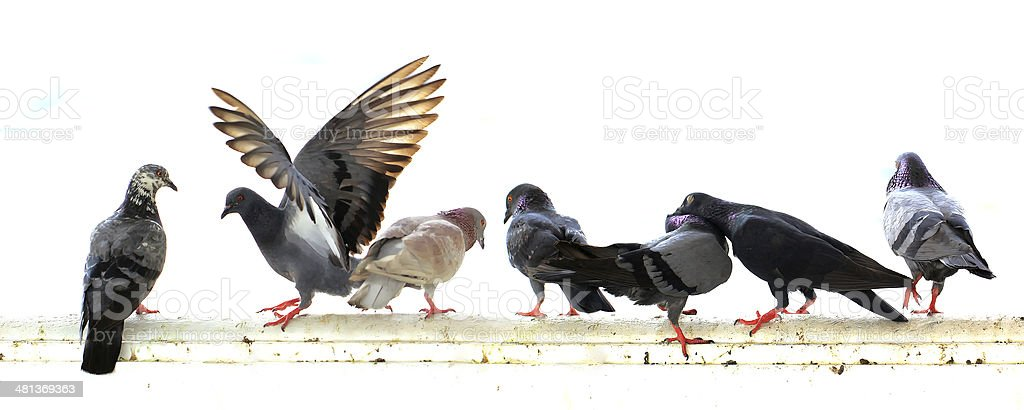 pigeon isolated on white background stock photo