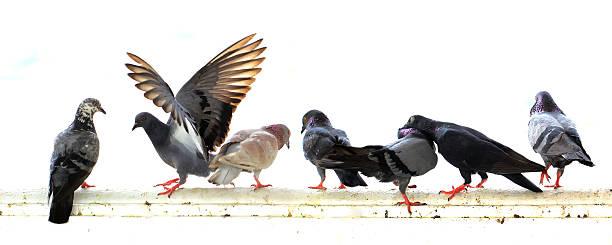 Taube isoliert auf weißem Hintergrund – Foto