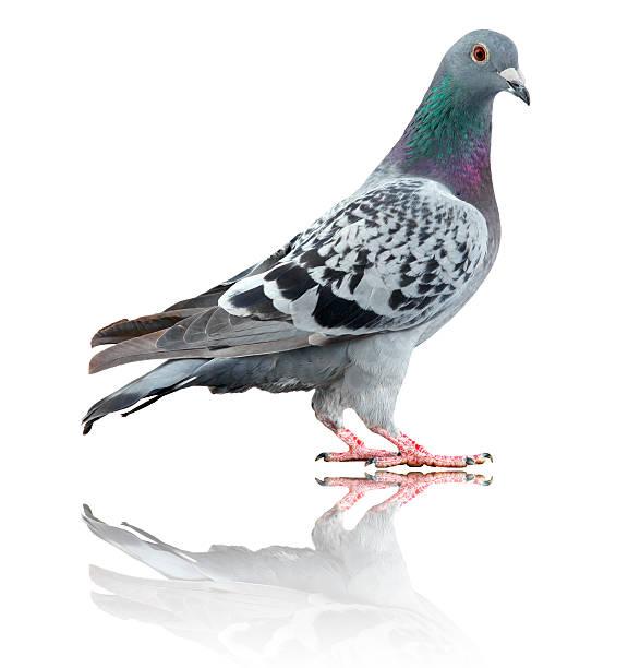 Taube isoliert auf weiss mit Reflektion – Foto