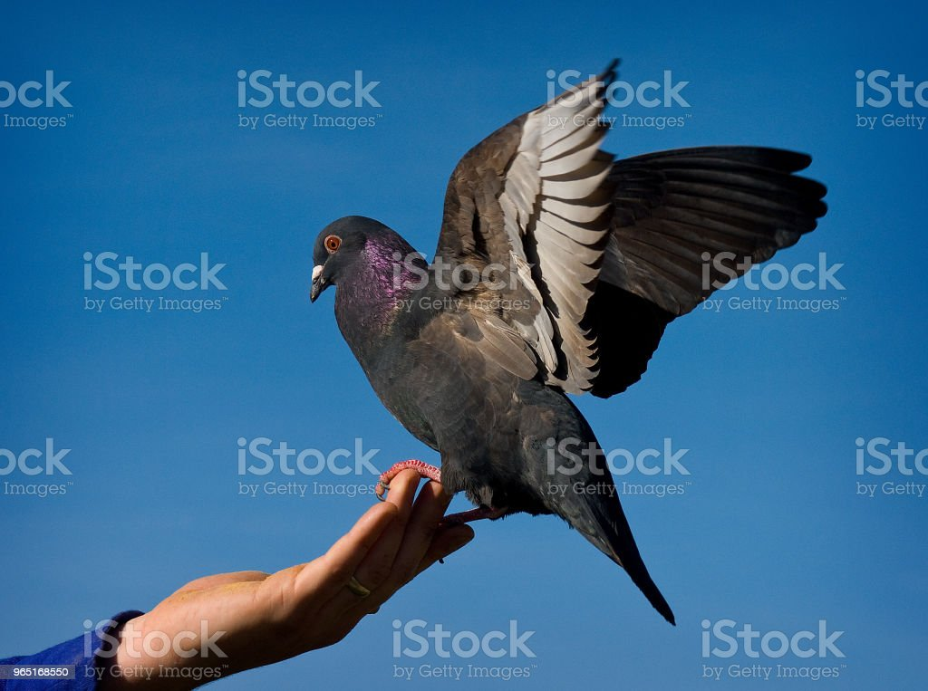 Pigeon lands royalty-free stock photo