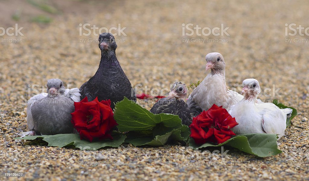 Pigeon Nestlings Birds sitting on sand together with Roses Flower royalty-free stock photo