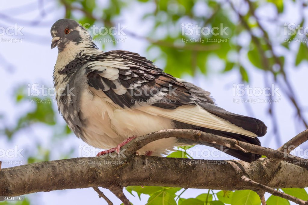 pigeon on a branch royalty-free stock photo