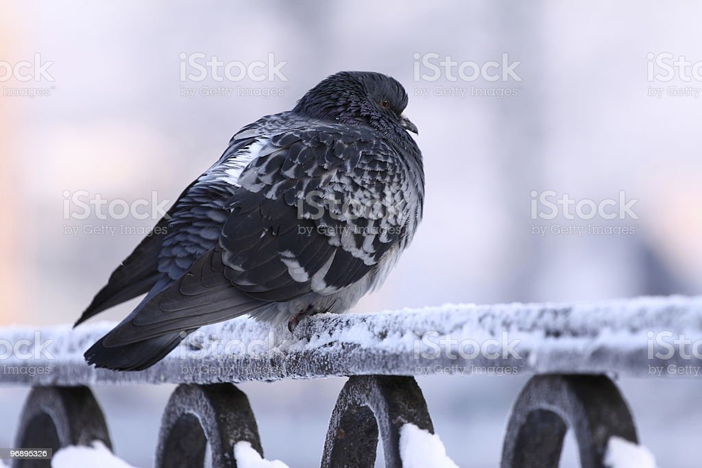 Pigeon on a cold royalty-free stock photo