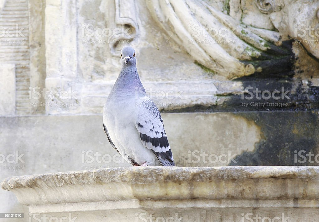 pigeon on a fountain edge royalty-free stock photo