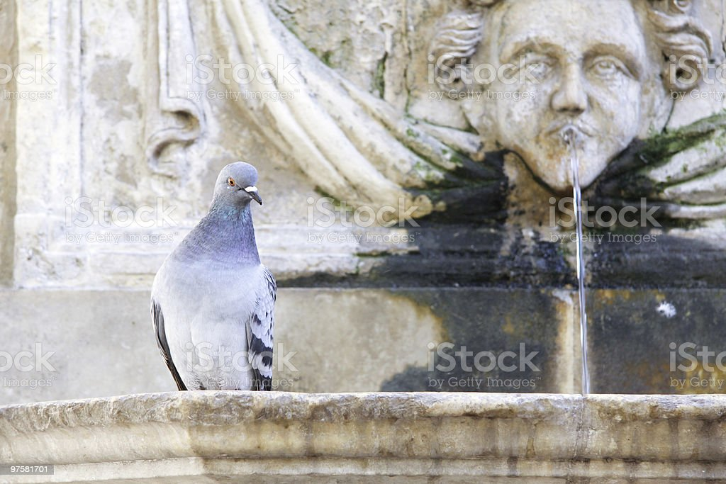 pigeon on a fountain royalty-free stock photo