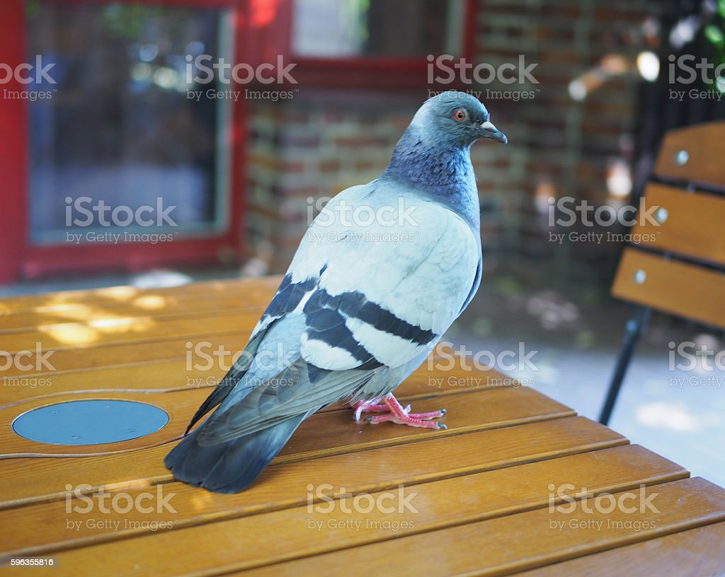 Pigeon On A Wooden Table royalty-free stock photo