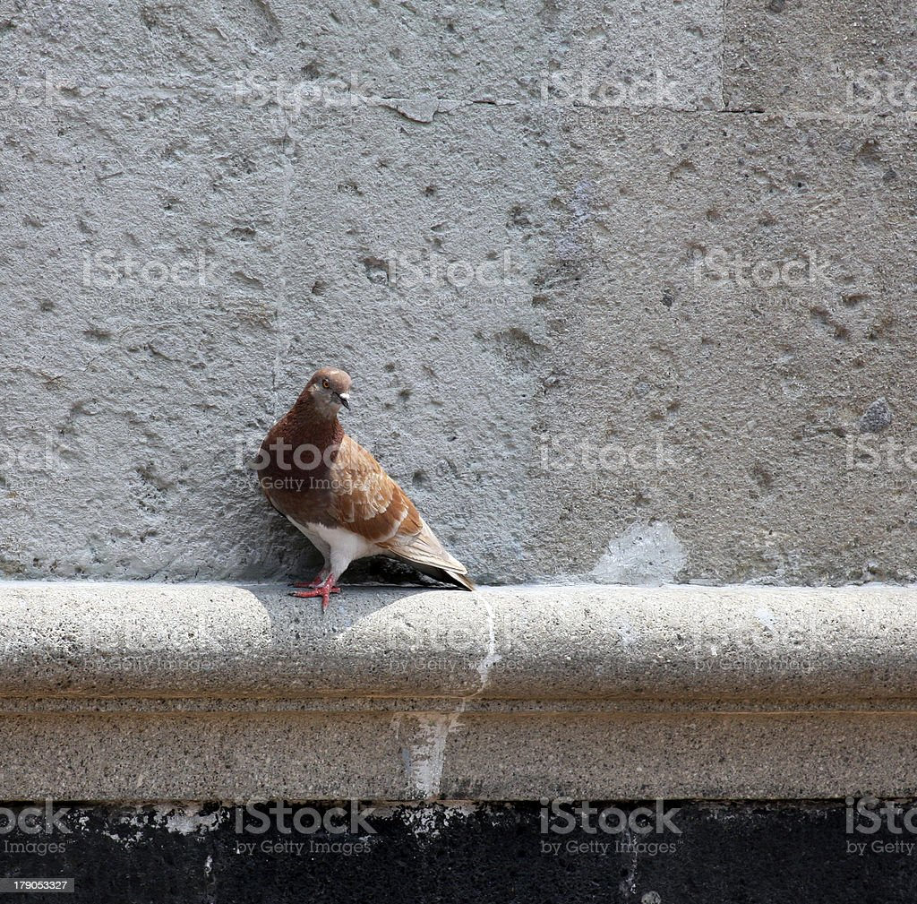 Pigeon on an old wall royalty-free stock photo