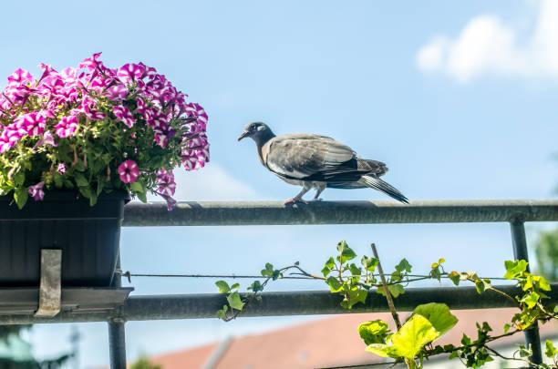 Pigeon auf Balkon – Foto