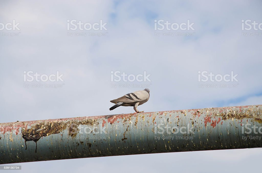 pigeon perched on steel beams and dirt smeared dung. stock photo