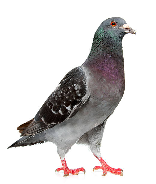 pigeon PigeonMore Pigeons: pigeon stock pictures, royalty-free photos & images