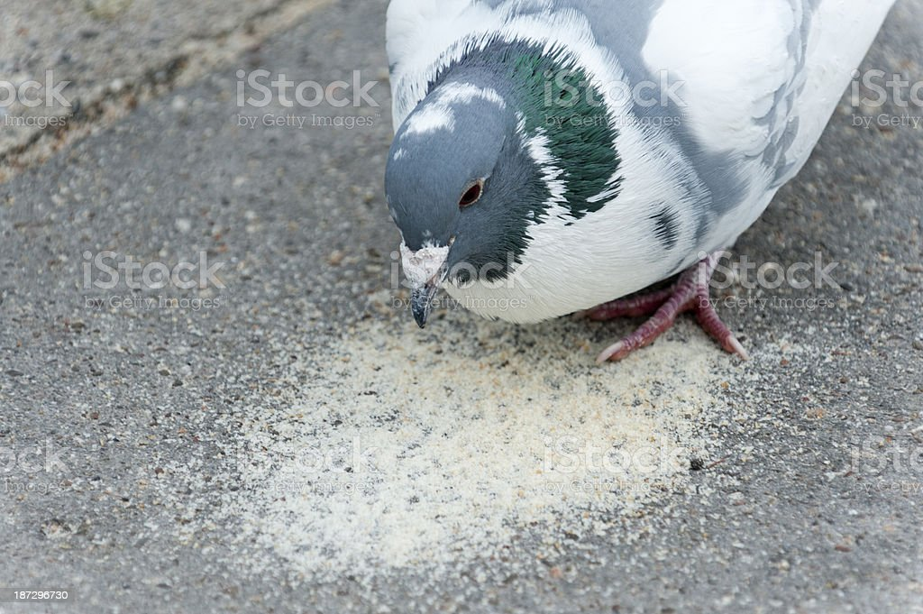 pigeon (Columba livia forma domestica) stock photo