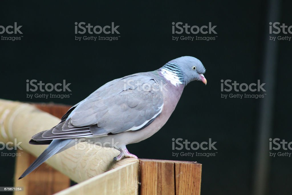 Pigeon royalty-free stock photo