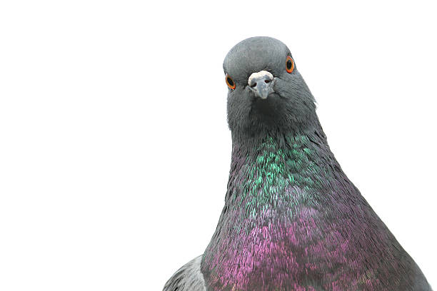 Pigeon  pigeon stock pictures, royalty-free photos & images