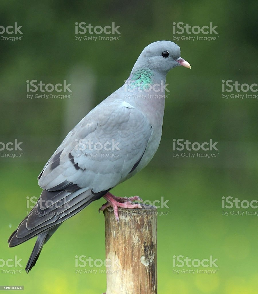 Pigeon royalty-free stock photo