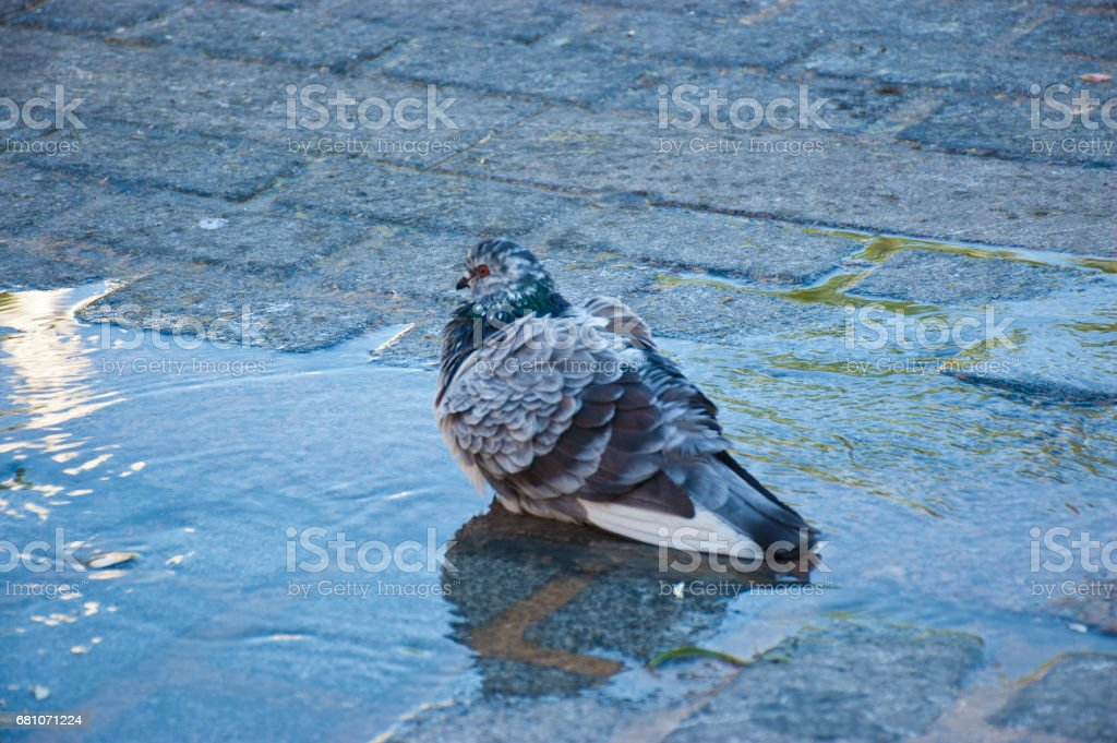 Pigeon playing in water stock photo